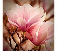Magnolia 11 Photographic Print