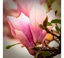 Magnolia 12 Photographic Print