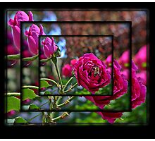 Kings Park Roses Photographic Print