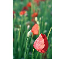 Poppies in the Breeze Photographic Print