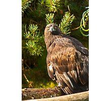 Golden Eagle Photographic Print