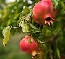 The Pomegranates by Dawn Crouse