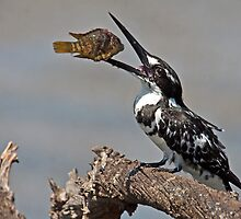 Pied Kingfisher by Lamprecht