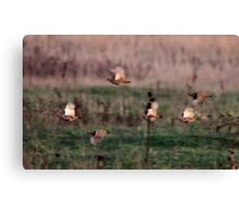 Grey Partridge Canvas Print