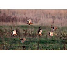 Grey Partridge Photographic Print