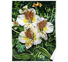 White and Gold Alstroemeria Poster