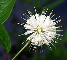 White starry flower by ♥⊱ B. Randi Bailey