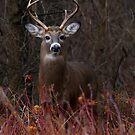White-tailed Bucks by Jim Cumming