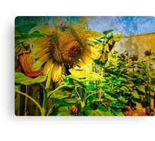 Home grown Sunflowers Canvas Print