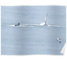 Humpback whale greets Puerto Vallarta with his one flapper Poster