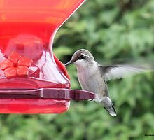 Hummingbird at the Feeder by Barberelli