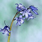 Bluebells by Steve Purnell