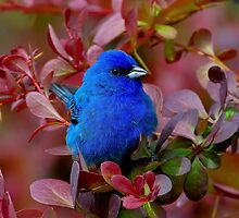 Indigo Bunting In Barberry Bush by John Absher
