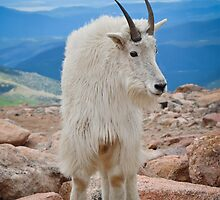 Mountain Goat Pose iPhone Case by Reese Ferrier