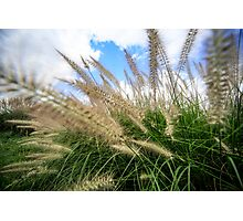 Flowering rush grass on a river bank  Photographic Print