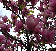 Crazy for Magnolias by MarianBendeth