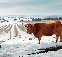 Cows in Snowscape. Photographed in the Golan Heights, Israel  by PhotoStock-Isra