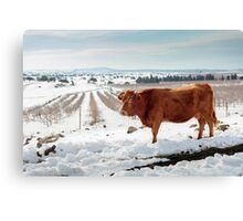Cows in Snowscape. Photographed in the Golan Heights, Israel  Canvas Print