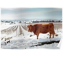 Cows in Snowscape. Photographed in the Golan Heights, Israel  Poster