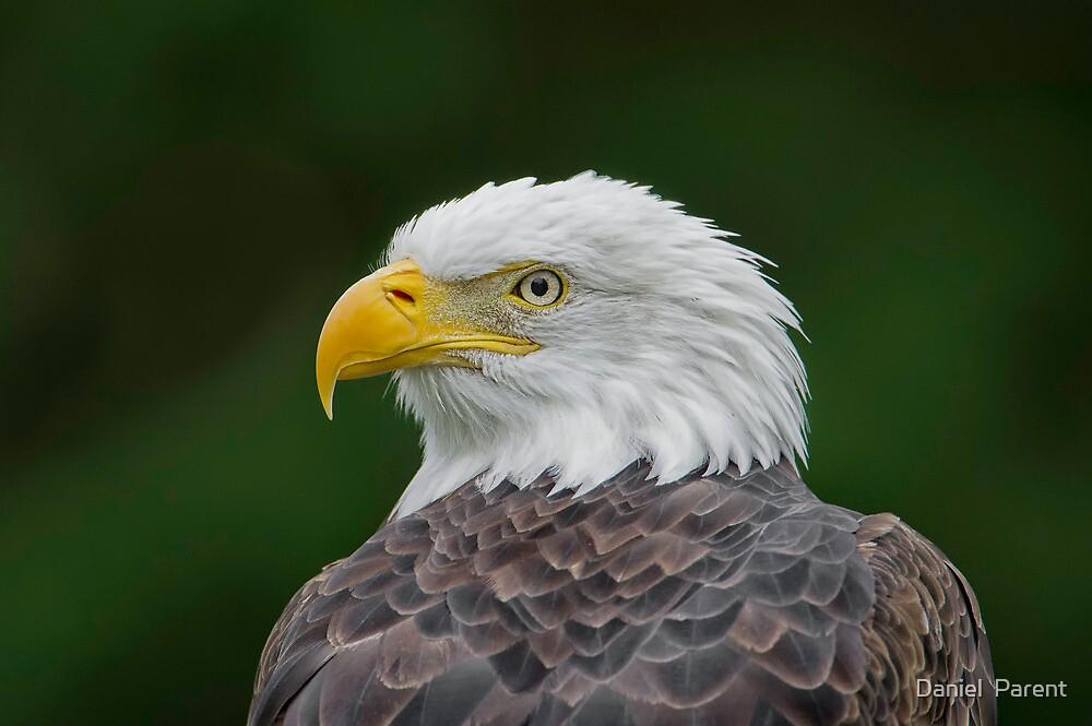Eagle Profile by Daniel  Parent