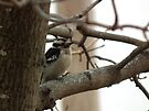 Downy Woodpecker in Tree by Deb Fedeler