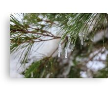 Close-up of pine leaves in snow. Photographed at Odem Forest, Golan Heights, Israel  Canvas Print