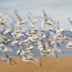 Ring-billed Gull Blast-off Pan-blur. by Daniel Cadieux