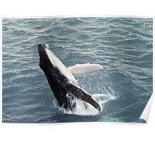 Humpback Whale breaching - Hervey Bay, Qld Poster