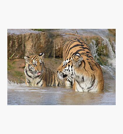Tiger, Mother and Cub Photographic Print