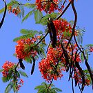 Flame Trees - Townsville, Queensland by BreeDanielle