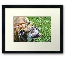 Happy Bulldog Framed Print