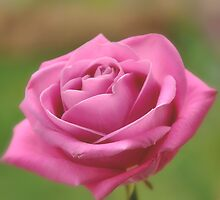 A rose for love. by Karen  Betts