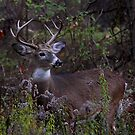 Young Prince 2011 - White-tailed Deer by Jim Cumming