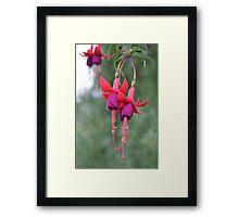 Hanging Fuschia Flowers Framed Print