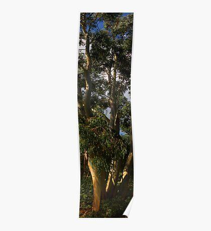 love eucalyptus Poster