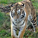 Wild Stripes by Dorothy Thomson