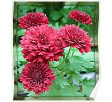 Quintet of Crimson Chrysanthemums Poster
