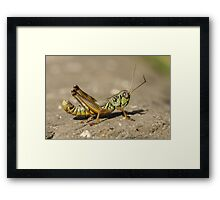 Small Green Grasshopper Framed Print