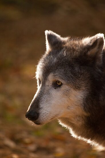 Wolf Outlined by the Sun by Karol Livote
