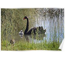 Black Swan and Cygnet Poster