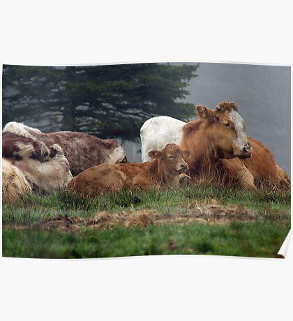 Let Sleeping Cows Lie Poster