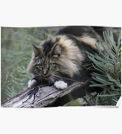 JB - Maine Coon - In the Wild Poster