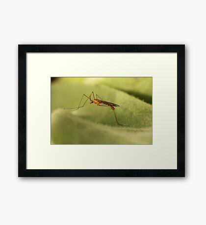 Crane Fly Framed Print