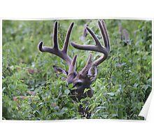 Velvet Buck Poster