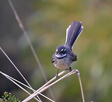 Grey Fantail by Darby Higgs