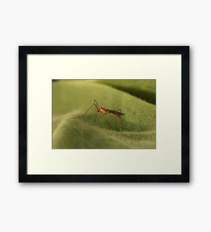Crane Fly2 Framed Print