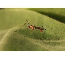 Crane Fly2 Photographic Print