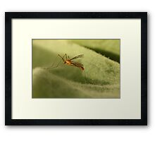 Crane Fly3 Framed Print