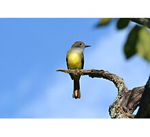 Great Crested Flycatcher Photographic Print