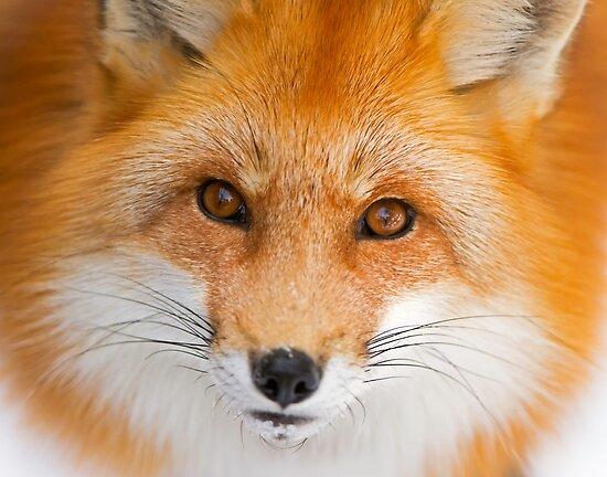 Fox Stare by Daniel  Parent